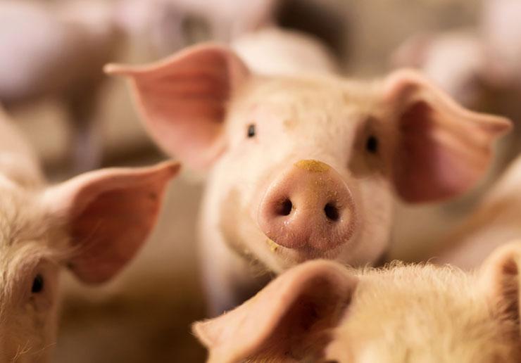 Schweinefleisch – eigene Aufzucht & traditionelle Hausschlachtung
