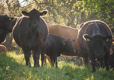 Deutsch Angus Herde im Sonnenuntergang