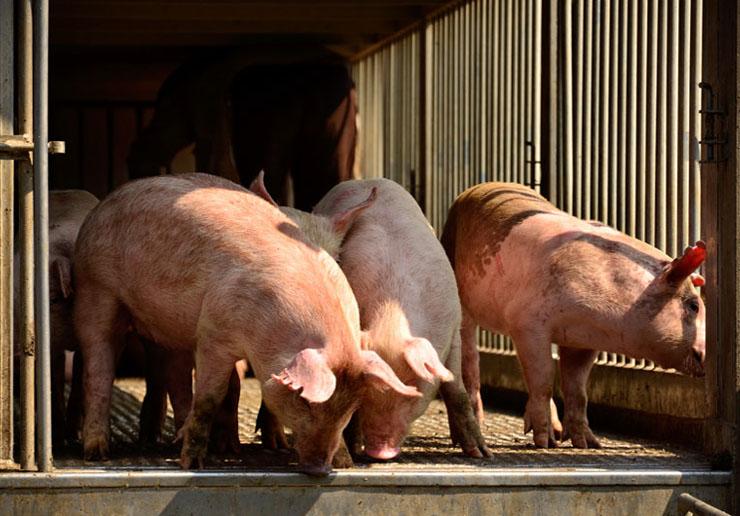 Schweine auf dem Anhänger