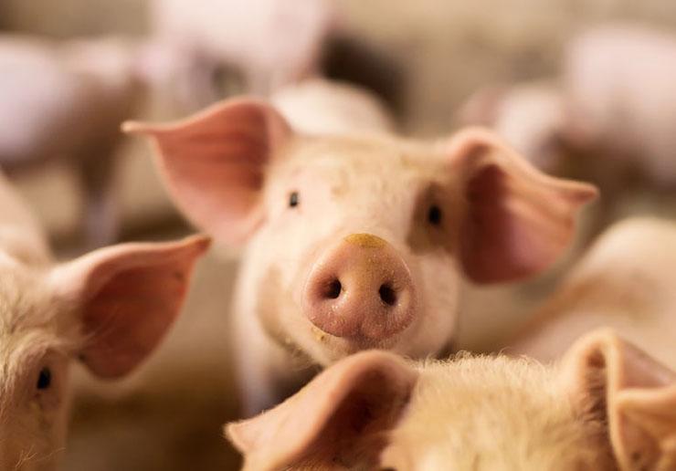 100% eigene Aufzucht eigener Mastschweine